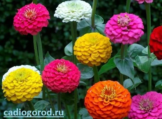 Циния-цветок-Описание-и-уход-за-цинией-1
