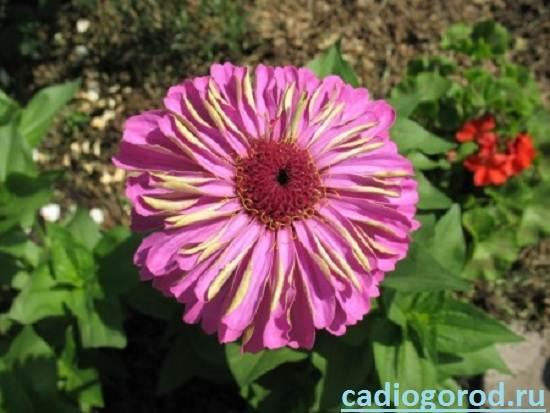 Циния-цветок-Описание-и-уход-за-цинией-6