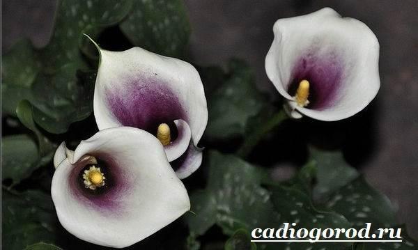 Каллы-цветы-Описание-и-уход-за-каллами-9