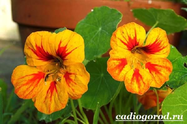 Настурция-цветок-Описание-и-уход-за-настурцией-12