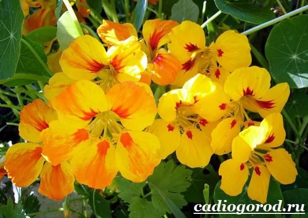 Настурция-цветок-Описание-и-уход-за-настурцией-6