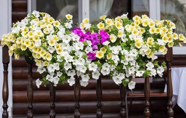 Петуния-Описание-и-уход-за-цветком-петуния-24