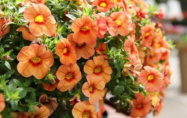 Петуния-Описание-и-уход-за-цветком-петуния-5