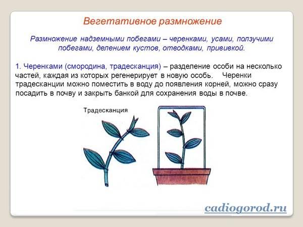 Традесканция-цветок-Описание-и-уход-за-традесканцией-3