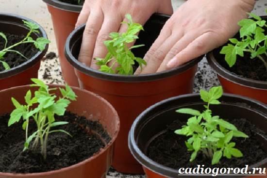 Как-сажать-помидоры-Когда-сажать-помидоры-5