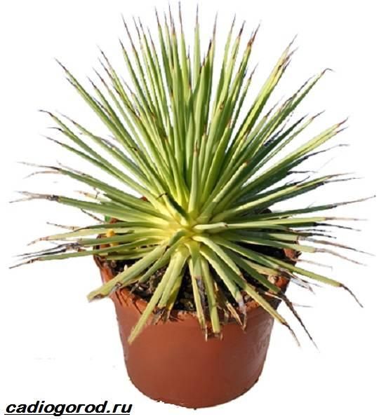 agava-rastenie-vyrashhivanie-agavy-uxod-za-agavoj-3