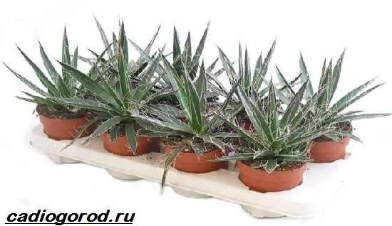 agava-rastenie-vyrashhivanie-agavy-uxod-za-agavoj-6