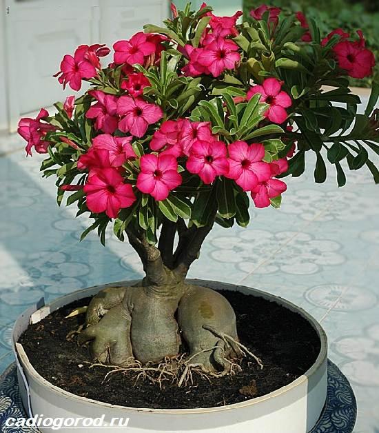 Цветок адениум фото