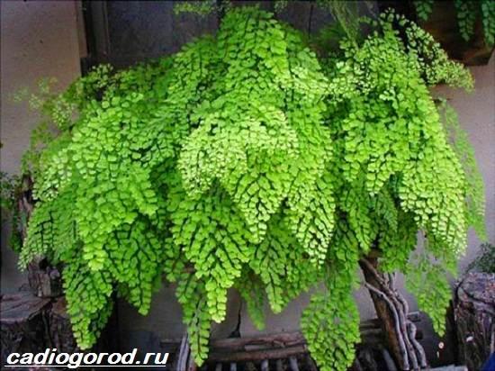Адиантум-папоротник-Выращивание-адиантума-Уход-за-адиантумом-4
