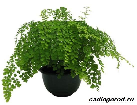 Адиантум-папоротник-Выращивание-адиантума-Уход-за-адиантумом-5