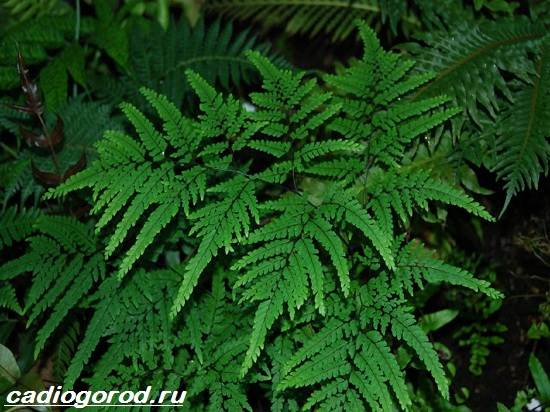 Адиантум-папоротник-Выращивание-адиантума-Уход-за-адиантумом-8
