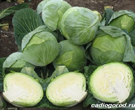 Выращивание-капусты-Как-и-когда-сажать-капусту-Уход-за-капустой-6