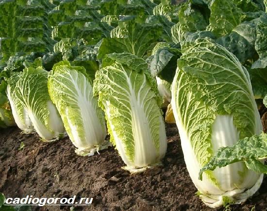 Выращивание-капусты-Как-и-когда-сажать-капусту-Уход-за-капустой-7