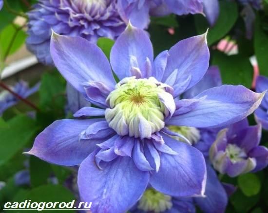 Что это за цветок фото клематиса