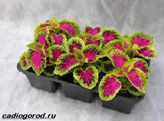 Колеус-цветок-Выращивание-колеуса-Уход-за-колеусом-2
