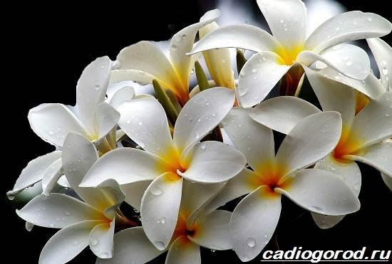 Плюмерия-цветок-Выращивание-плюмерии-Уход-за-плюмерией-1