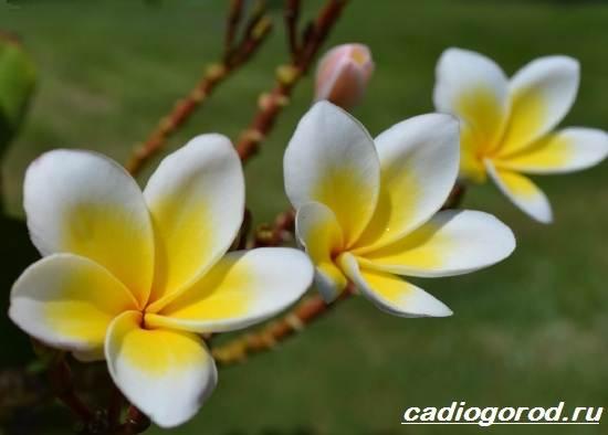 Плюмерия-цветок-Выращивание-плюмерии-Уход-за-плюмерией-3