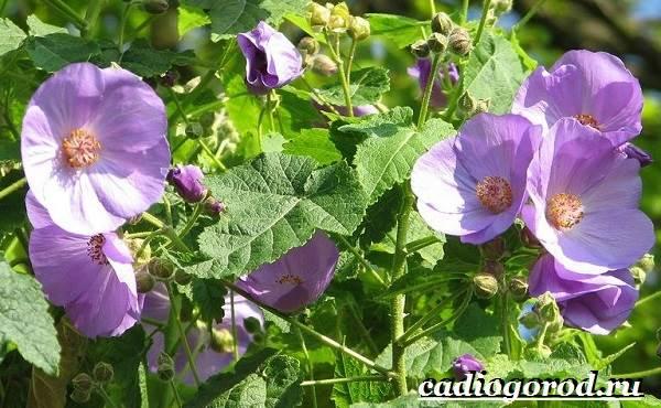 Абутилон-цветок-Выращивание-абутилона-Уход-за-абутилоном-15