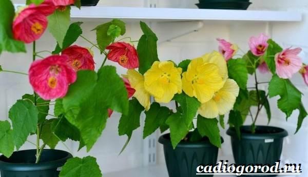 Абутилон-цветок-Выращивание-абутилона-Уход-за-абутилоном-19