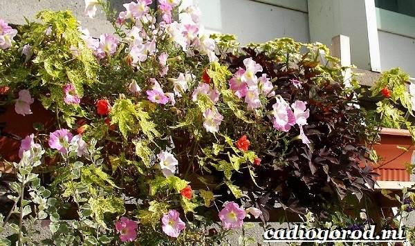 Абутилон-цветок-Выращивание-абутилона-Уход-за-абутилоном-20