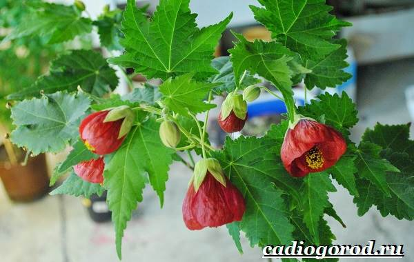Абутилон-цветок-Выращивание-абутилона-Уход-за-абутилоном-24