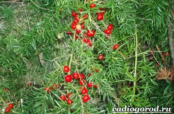 Аспарагус-цветок-Выращивание-аспарагуса-Уход-за-аспарагусом-14