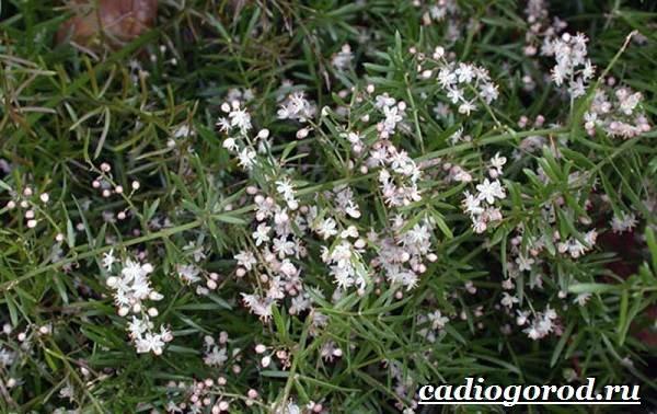 Аспарагус-цветок-Выращивание-аспарагуса-Уход-за-аспарагусом-7