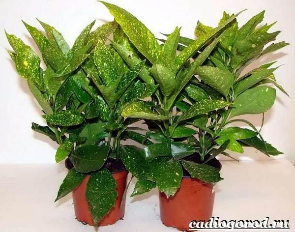 Аукуба-цветок-Выращивание-аукубы-Уход-за-аукубой-3