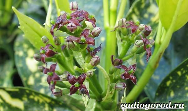 Аукуба-цветок-Выращивание-аукубы-Уход-за-аукубой-5