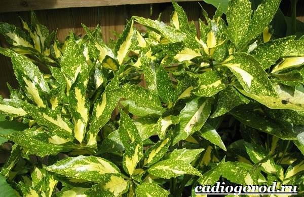 Аукуба-цветок-Выращивание-аукубы-Уход-за-аукубой-9