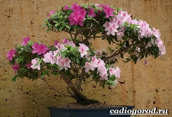 Азалия-цветок-Выращивание-азалии-Уход-за-азалией-4