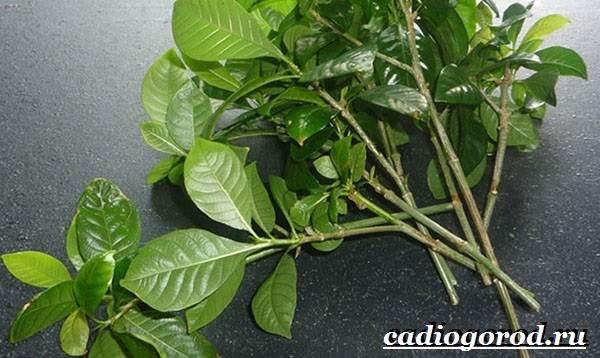 Азалия-цветок-Выращивание-азалии-Уход-за-азалией-6