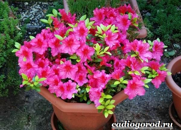 Азалия-цветок-Выращивание-азалии-Уход-за-азалией-8