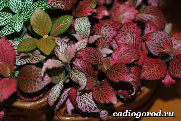 Фиттония-цветок-Выращивание-фиттонии-Уход-за-фиттонией-5
