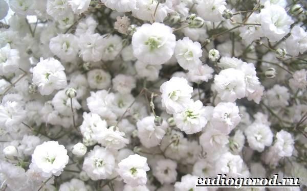 Гипсофила-цветок-Выращивание-гипсофилы-Уход-за-гипсофилой-10