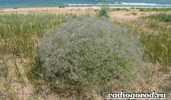 Гипсофила-цветок-Выращивание-гипсофилы-Уход-за-гипсофилой-13