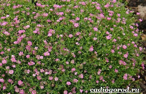 Гипсофила-цветок-Выращивание-гипсофилы-Уход-за-гипсофилой-3