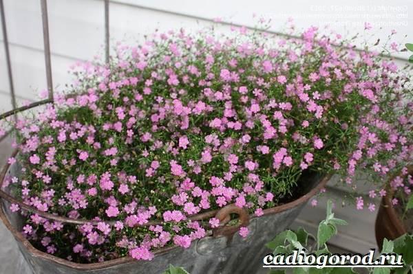 Гипсофила-цветок-Выращивание-гипсофилы-Уход-за-гипсофилой-9