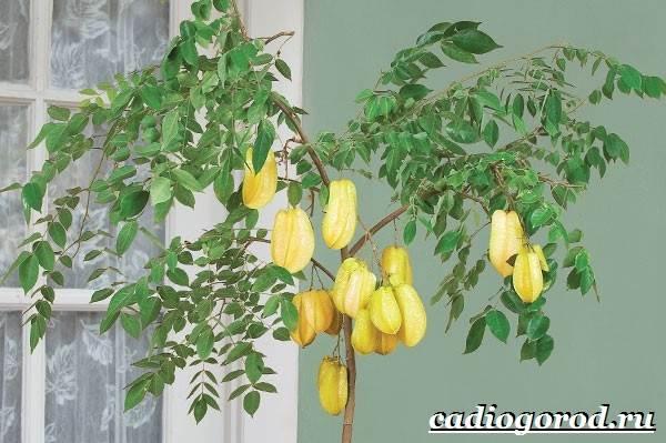 Карамбола-фрукт-Польза-карамболы-Как-выбрать-карамболу-Как-есть-карамболу-9
