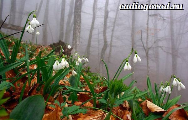 Подснежник-цветок-Описание-особенности-виды-и-защита-подснежников-4
