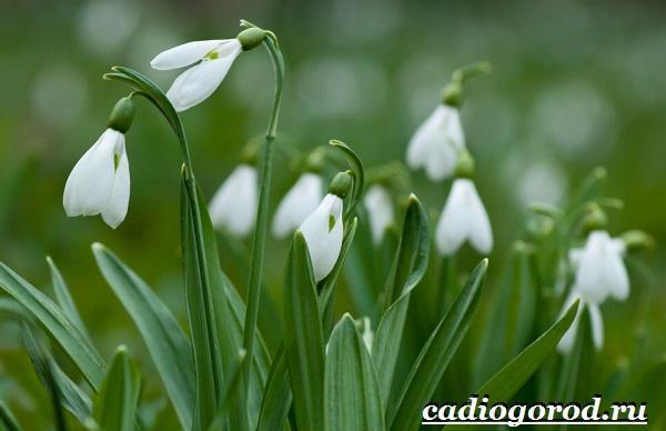 Подснежник-цветок-Описание-особенности-виды-и-защита-подснежников-8