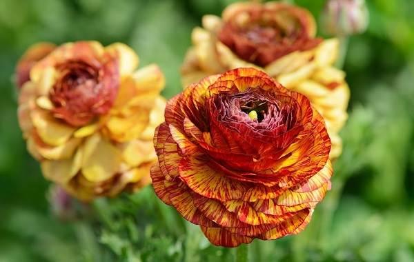 Ранункулюс-цветок-Выращивание-ранункулюса-Уход-за-ранункулюсом-11