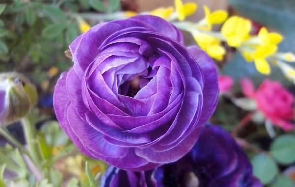 Ранункулюс-цветок-Выращивание-ранункулюса-Уход-за-ранункулюсом-13
