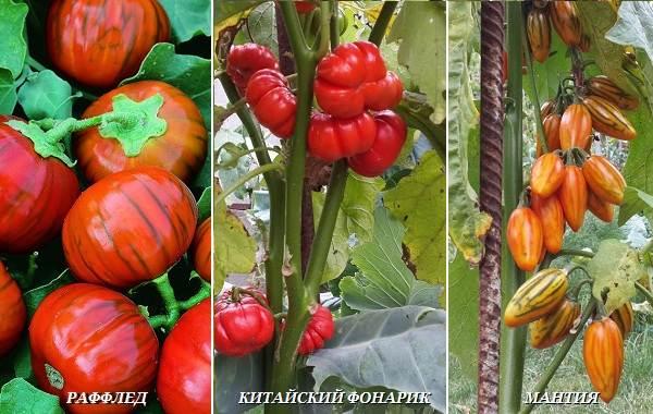Выращивание-баклажанов-Как-и-когда-сажать-баклажаны-14