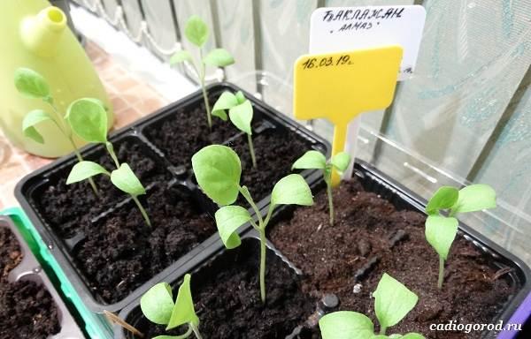 Выращивание-баклажанов-Как-и-когда-сажать-баклажаны-3
