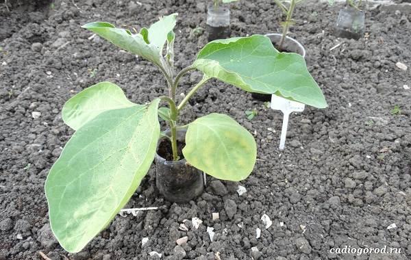 Выращивание-баклажанов-Как-и-когда-сажать-баклажаны-5