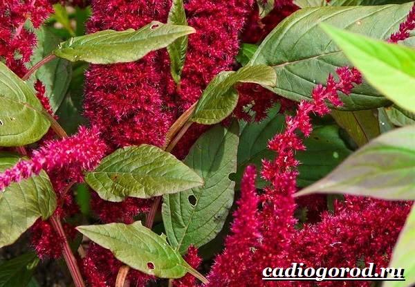Амарант-растение-Выращивание-амаранта-Уход-за-амарантом-3