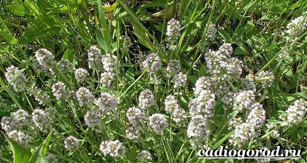 Чабрец-трава-Выращивание-чабреца-Уход-за-чабрецом-5