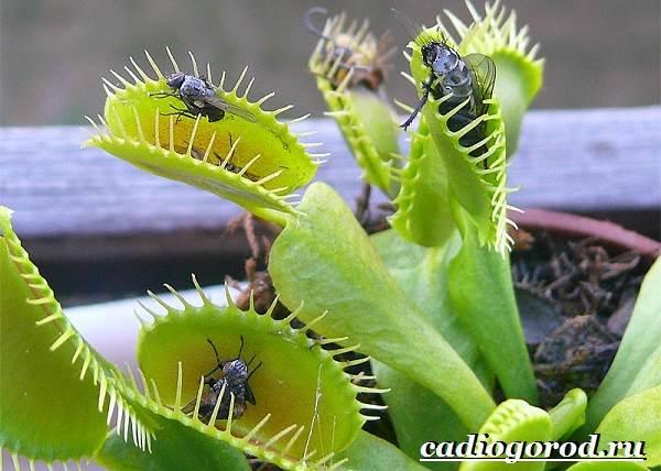 Дионея-цветок-Выращивание-дионеи-Уход-за-дионеей-3