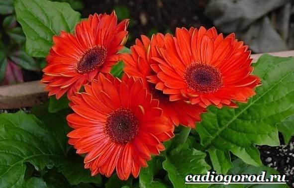 Герберы-цветы-Выращивание-гербер-Уход-за-герберами-3
